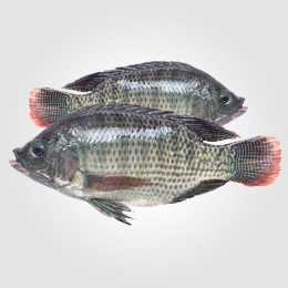 FISH TILAPEA (200G-300G)
